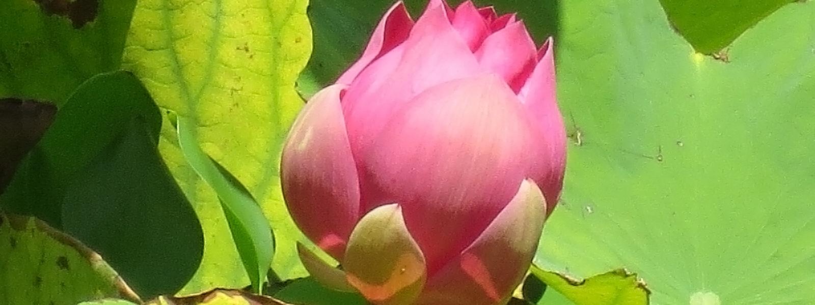 Fleur de Lotus, pour le corps et l'esprit